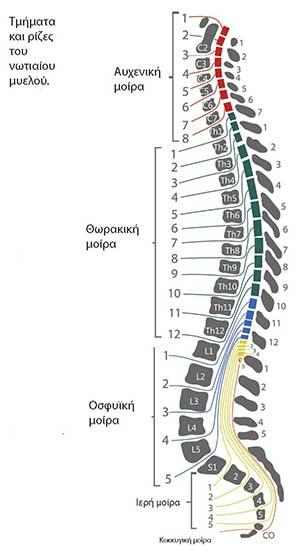 νευροτόμια και σπονδυλοι